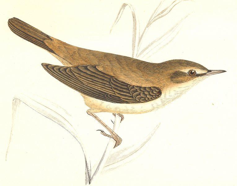 Associate Product BIRDS. Reed Warbler. (Morris) 1865 old antique vintage print picture