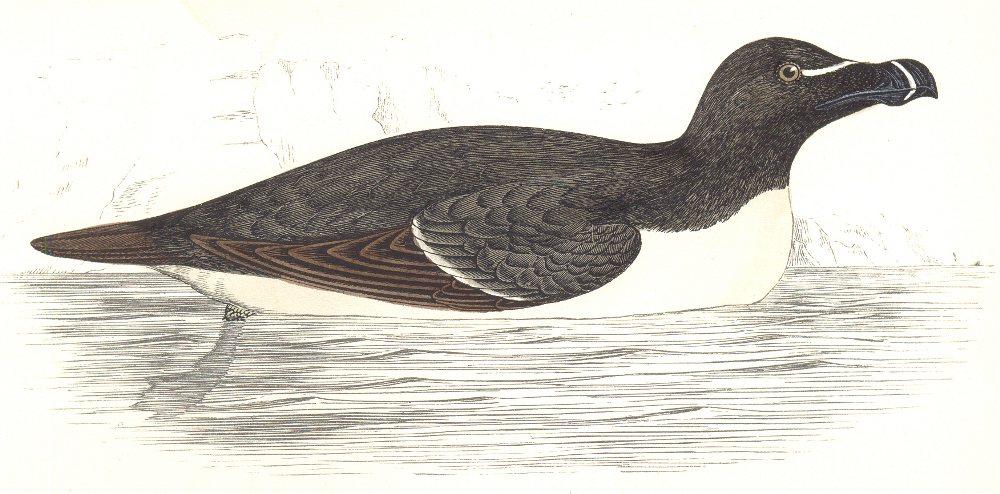 Associate Product BIRDS. Razor Bill (Auk) (Morris) 1865 old antique vintage print picture