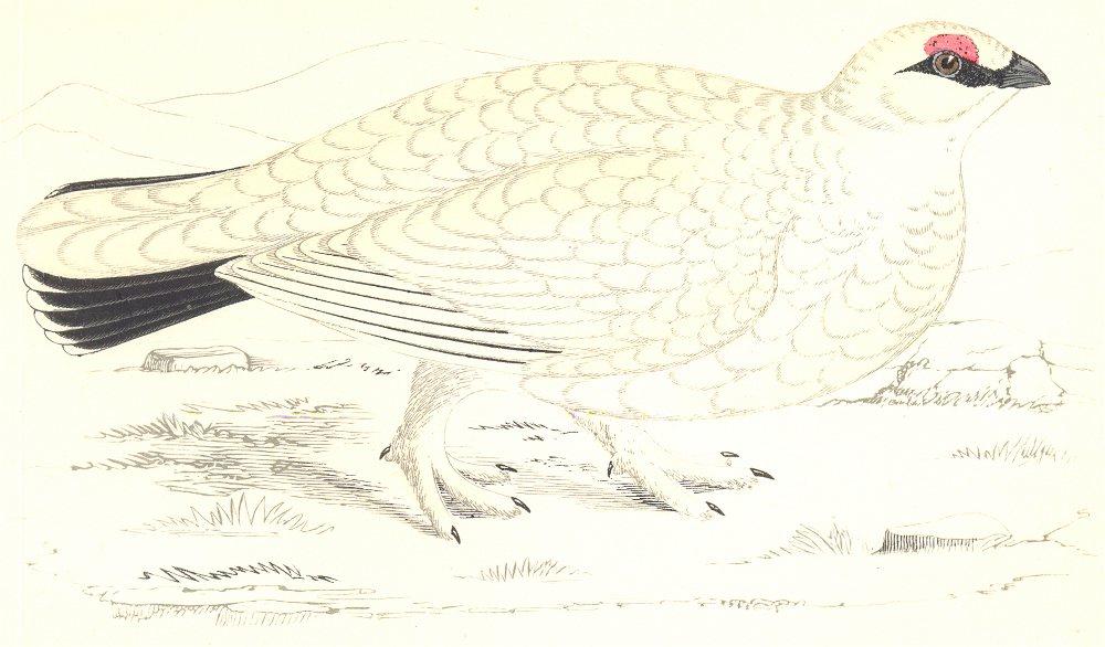 Associate Product BIRDS. Ptarmigan. (Morris) 1865 old antique vintage print picture