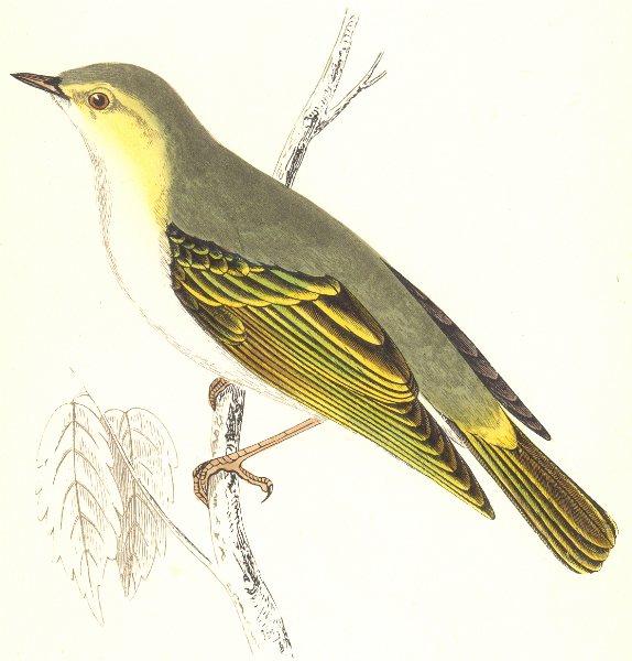Associate Product BIRDS. Wood Warbler. (Morris) 1865 old antique vintage print picture