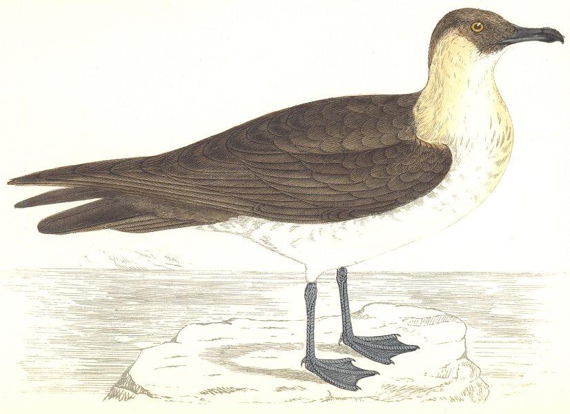 BIRDS. Pomerine Skua. (Morris) 1865 old antique vintage print picture