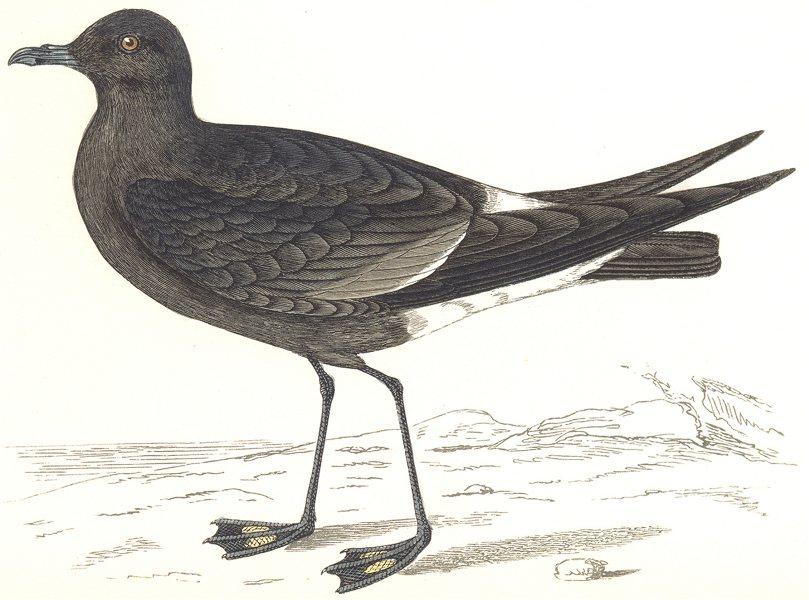 Associate Product BIRDS. Wilson's Petrel. (Morris) 1865 old antique vintage print picture