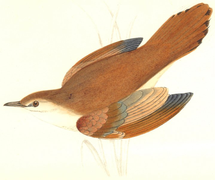 Associate Product BIRDS. Rufous Sedge Warbler. Found in Europe. USA (Morris) 1865 old print