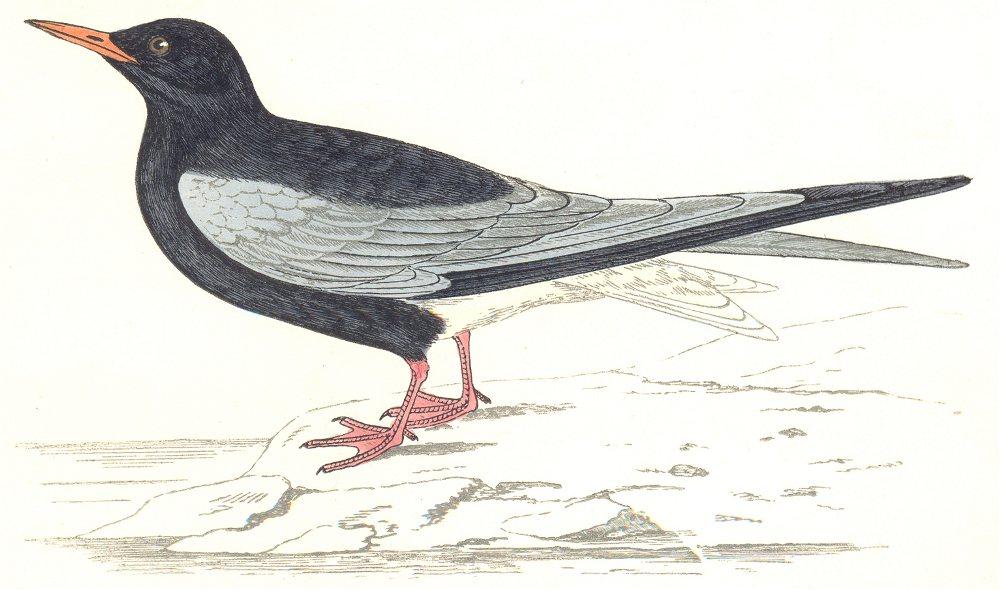 BIRDS. White Winged Black Tern. Found in Europe. Asia (Morris) 1865 old print