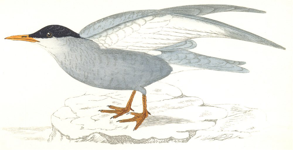 Associate Product BIRDS. Whiskered Tern. Found in Europe. Africa. Asia (Morris) 1865 old print