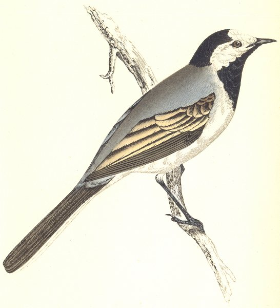Associate Product BIRDS. Wagtail White. Found in Europe. Malta. Corfu (Morris) 1865 old print