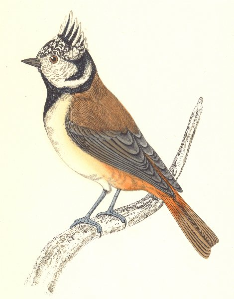 Associate Product BIRDS. Tit Crested. Native of Europe. Crested Tit (Morris) 1865 old print