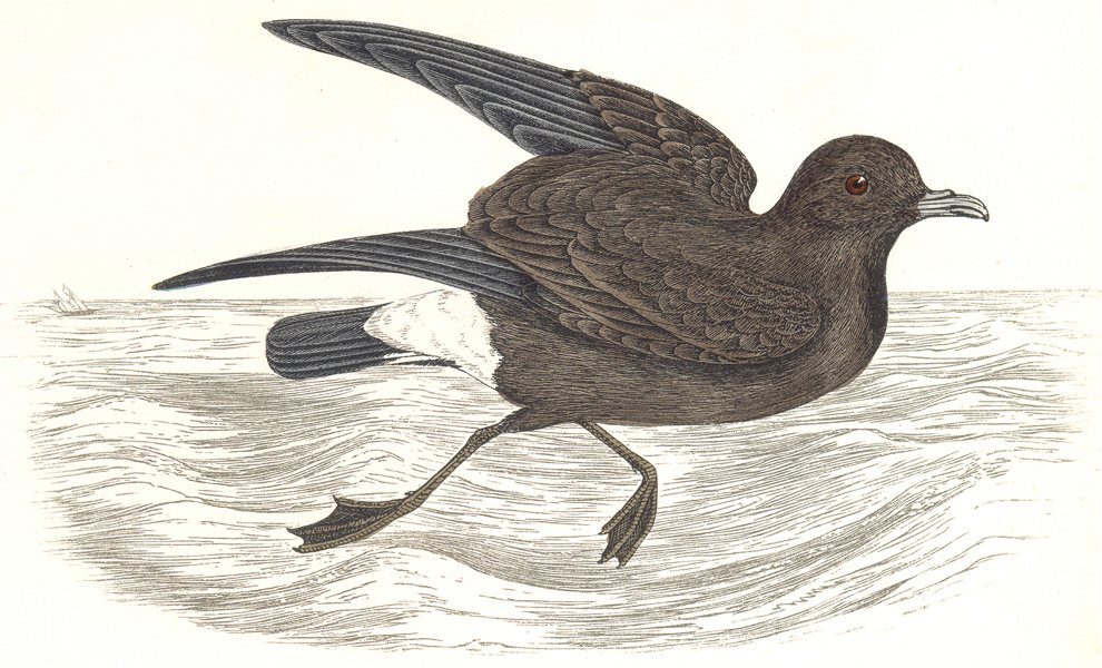 Associate Product BIRDS. Stormy Petrel. Found in Europe. Africa. America (Morris) 1865 old print