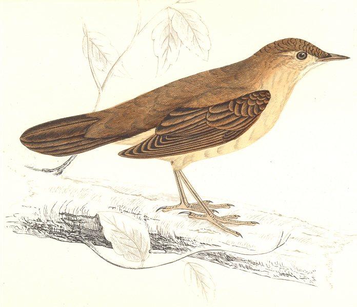 Associate Product BIRDS. Savi's Warbler. Found in Europe. Africa. Egypt (Morris) 1865 old print