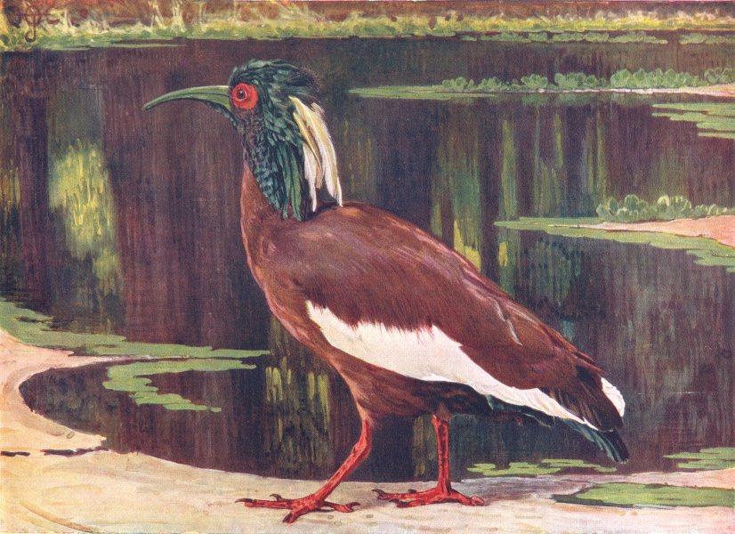 Associate Product MADAGASCAR. Birds. Crested Ibis. (Madagascar) (Hutchinson) 1927 old print