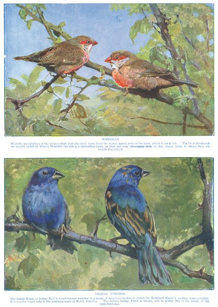 Associate Product BIRDS. Waxbills and Indigo Finches (Hutchinson) 1927 old vintage print picture