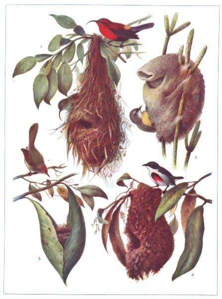 Associate Product BIRDS. Wonderful birds nests. Sunbird. Tailor- bird. (Hutchinson) 1927 print