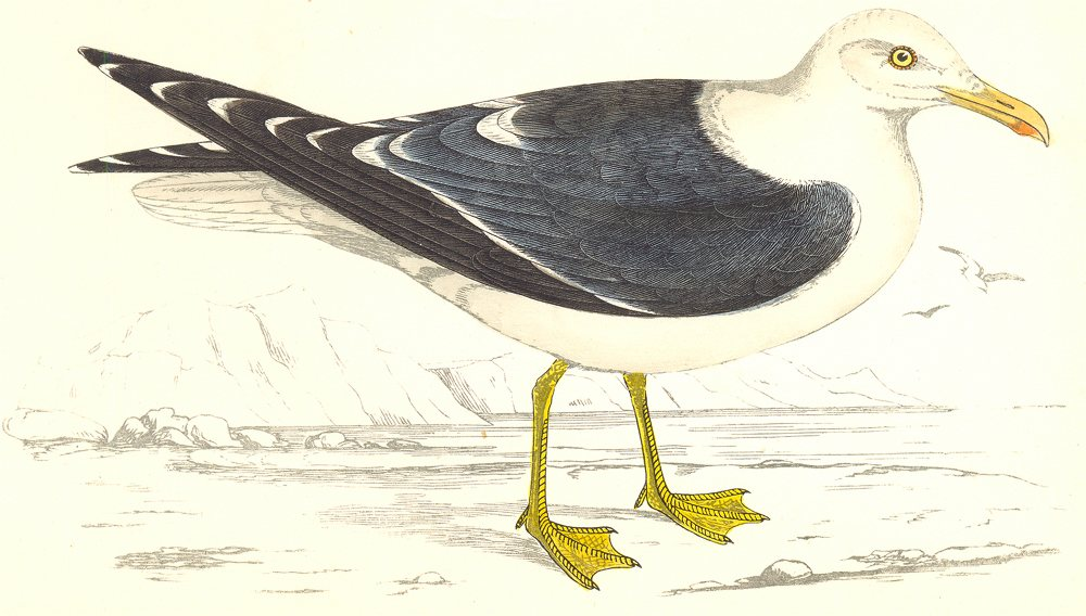 Associate Product BIRDS. Lesser Black Backed Gull. found in Europe. Asia (Morris) 1865 old print