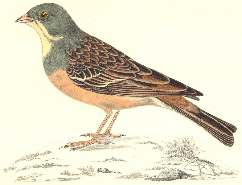 BIRDS. Ortolan. Found in Europe. Asia. East Indies (Morris) 1865 old print