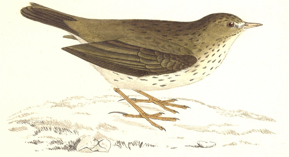 Associate Product BIRDS. Meadow Pipit. Origianal Colour. Europe. Asia. Africa (Morris) 1865