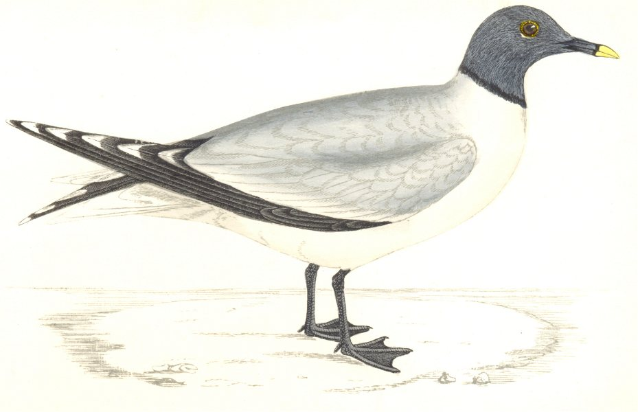Associate Product BIRDS. Sabine's Gull. Found in Europe. USA (Morris) 1865 old antique print