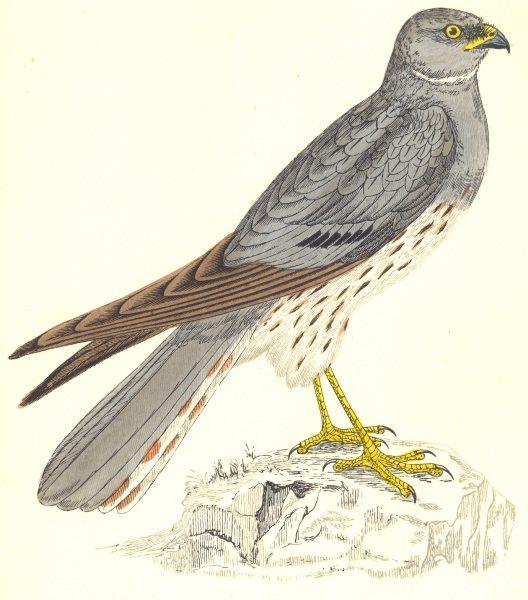 Associate Product BIRDS. Montagu's Harrier (Hawk) . Native of many lands (Morris) 1865 old print