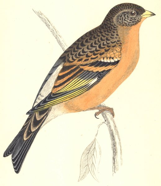 Associate Product BIRDS. Mountain Finch. Found in Europe. Asia. Japan (Morris) 1865 old print