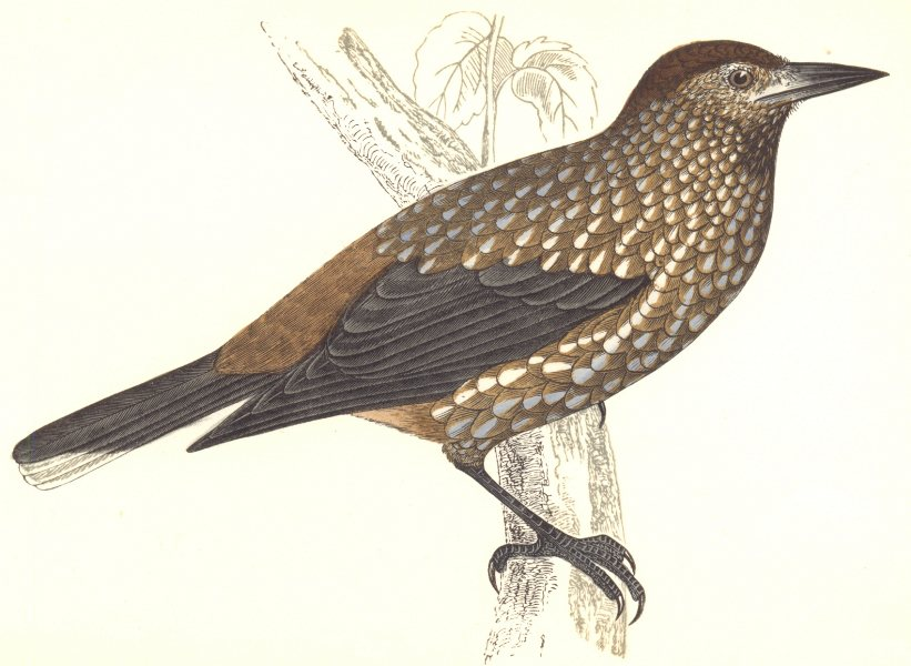 Associate Product BIRDS. Nutcracker. Found in Europe. Asia. USA (Morris) 1865 old antique print