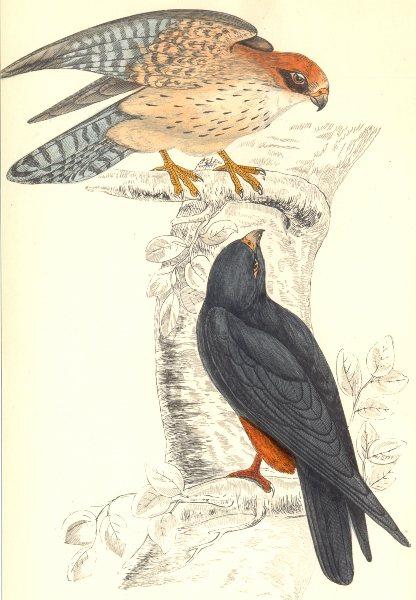 Associate Product BIRDS. Orange legged Hobby. Native of Europe (Morris) 1865 old antique print