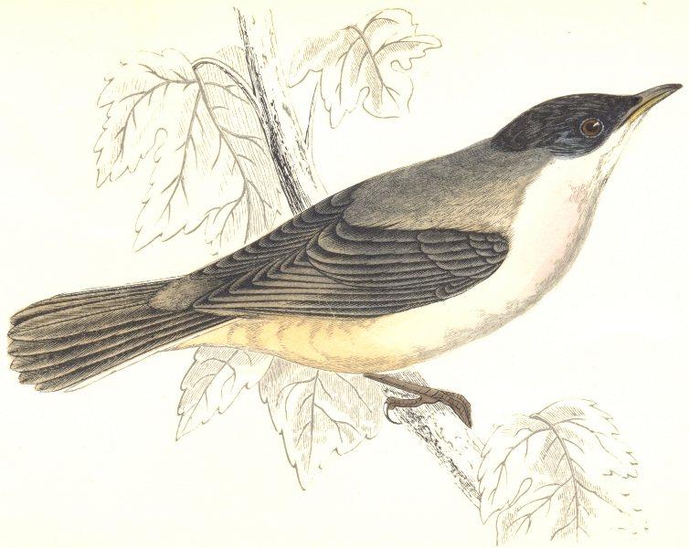Associate Product BIRDS. Orphean Warbler. Found in Europe. Esp. Italy (Morris) 1865 old print