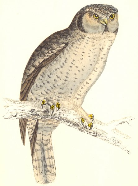 BIRDS. Hawk Owl or Canada Owl. c. Native of Americas. Europe (Morris) 1865