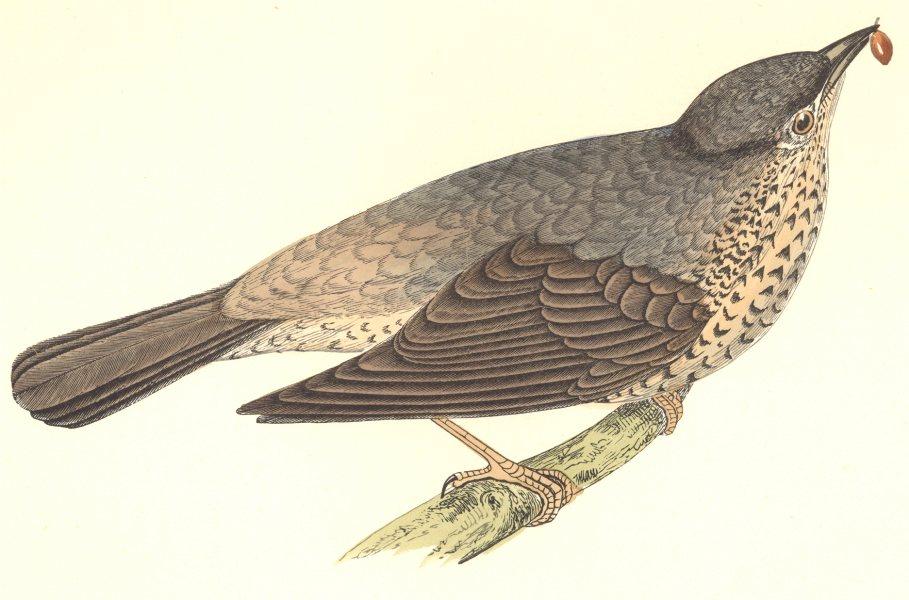 Associate Product GARDEN BIRDS. Missel Thrush (Morris) 1896 old antique vintage print picture
