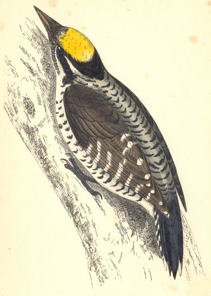 Associate Product WOODPECKERS. Three- Toed Woodpecker (Morris) 1880 old antique print picture