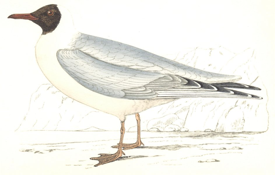 Associate Product BIRDS. Masked Gull. Found in Europe. USA. Masked Gull (Morris) 1865 old print