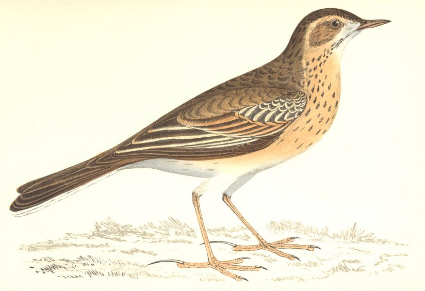 Associate Product BIRDS. Richard's Pipit. Europe. Crete (Morris) 1865 old antique print picture