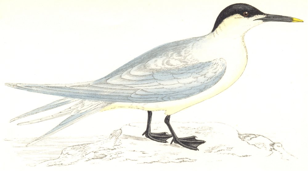 BIRDS. Sandwich Tern. Found in Europe. USA. Africa. Asia (Morris) 1865 print
