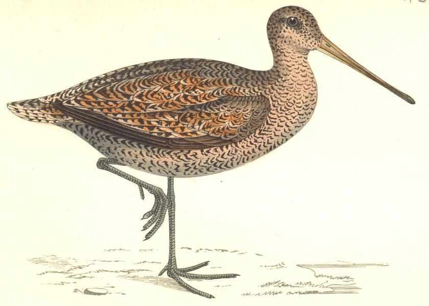 Associate Product BIRDS. Sabine's Snipe. Found in Europe. Sabine's Snipe (Morris) 1865 old print
