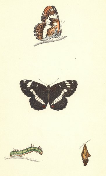 Associate Product BUTTERFLIES. White Admiral (Morris) 1870 old antique vintage print picture