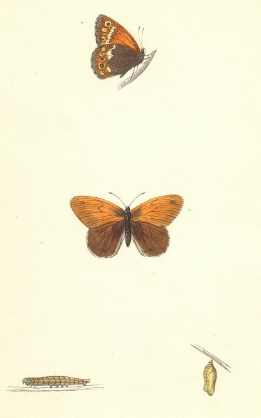 Associate Product BUTTERFLIES. Heath Butterfly (Morris) 1870 old antique vintage print picture