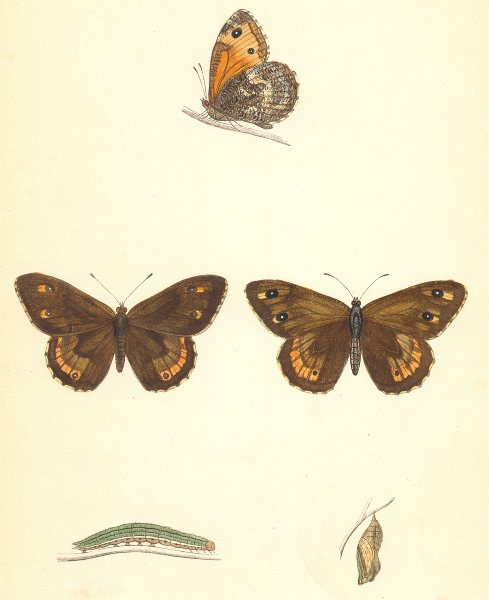 Associate Product BUTTERFLIES. Rock- Eyed Underwing (Morris) 1870 old antique print picture