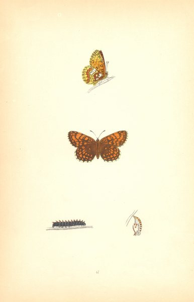 Associate Product BUTTERFLIES. Pearl- Bordered Likeness Fritillary (Morris) 1870 old print