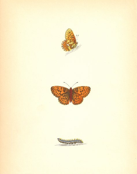Associate Product BUTTERFLIES. Pearl- Bordered Fritillary (Morris) 1870 old antique print