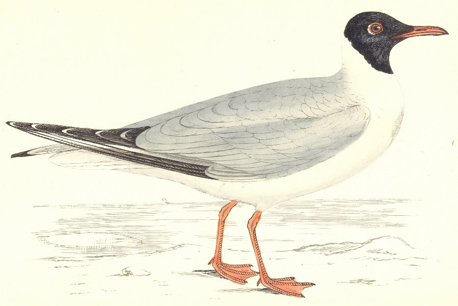 Associate Product BIRDS. Laughing Gull. Found in Europe. USA. Africa (Morris) 1865 old print