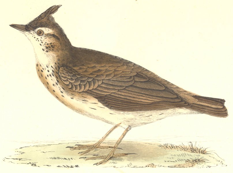 Associate Product BIRDS. Crested Lark. Found in Europe. Asia. Minor. Africa (Morris) 1880 print