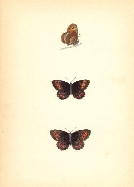 Associate Product BUTTERFLIES. Scotch Argus (Morris) 1870 old antique vintage print picture