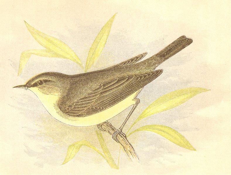 Associate Product BIRDS. Willow Wrem (Anne Pratt) 1852 old antique vintage print picture