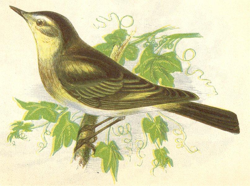 Associate Product BIRDS. Chiff- Chaff (Anne Pratt) 1852 old antique vintage print picture
