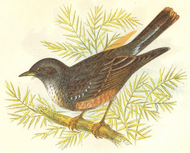 Associate Product BIRDS. Alpine Accentor (Anne Pratt) 1852 old antique vintage print picture