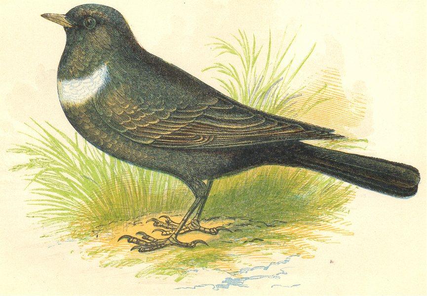 Associate Product BIRDS. Ring Ouzel (Anne Pratt) 1852 old antique vintage print picture