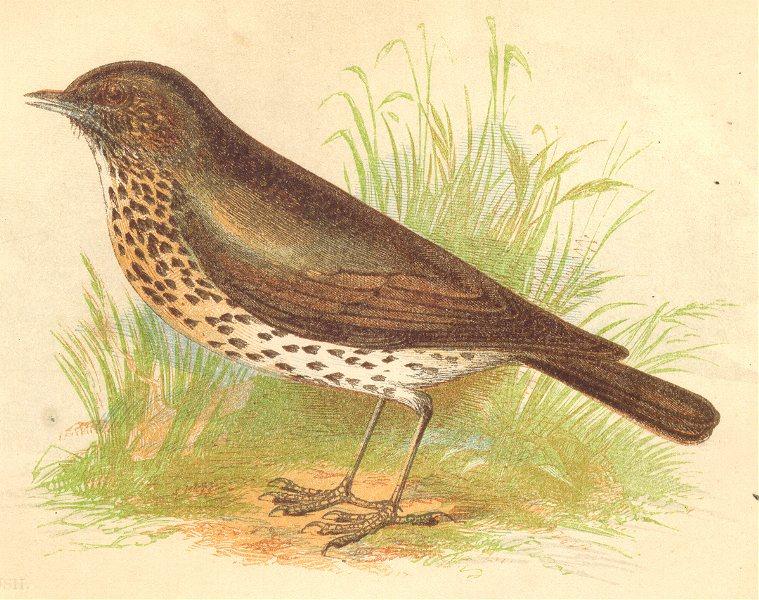 BIRDS. Thrush (Anne Pratt) 1852 old antique vintage print picture