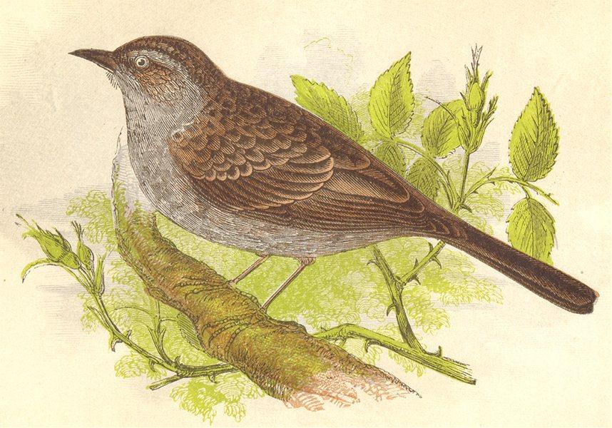 Associate Product BIRDS. Hedge Warbler (Anne Pratt) 1852 old antique vintage print picture