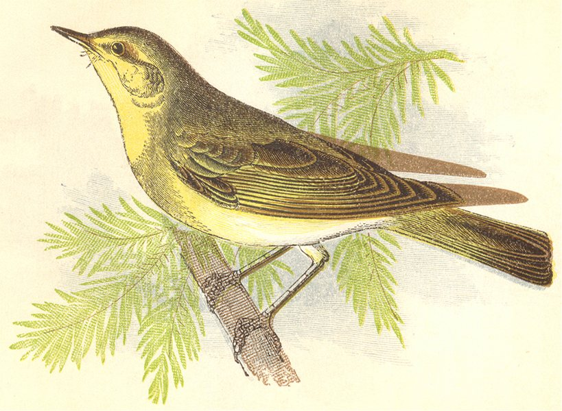 Associate Product BIRDS. Wood Wren (Anne Pratt) 1852 old antique vintage print picture