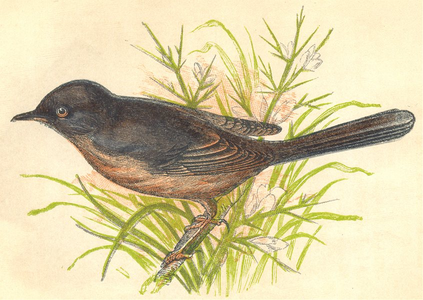 Associate Product BIRDS. Warbler (Anne Pratt) 1852 old antique vintage print picture