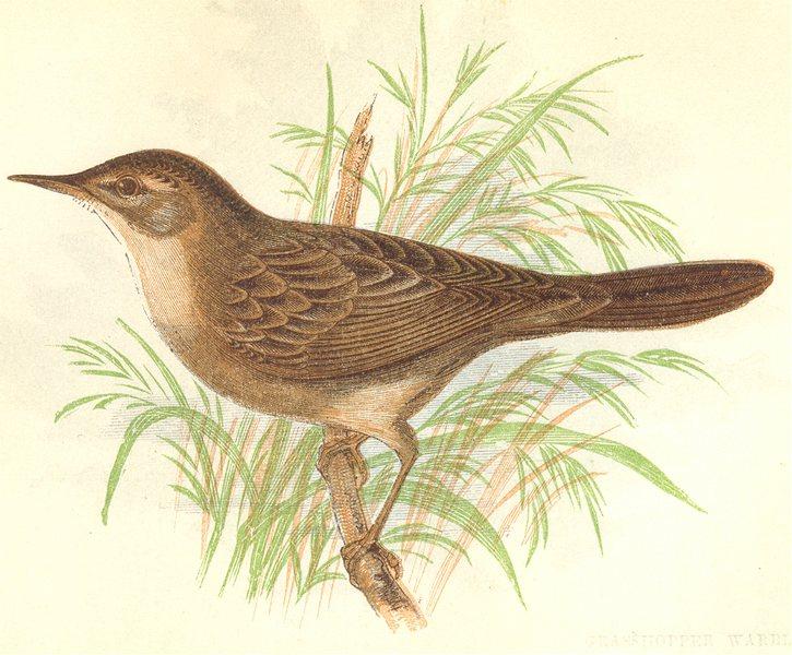 Associate Product BIRDS. Grasshopper Warbler (Anne Pratt) 1852 old antique vintage print picture