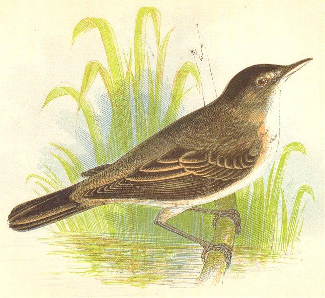 Associate Product BIRDS. Reed Warbler (Anne Pratt) 1852 old antique vintage print picture